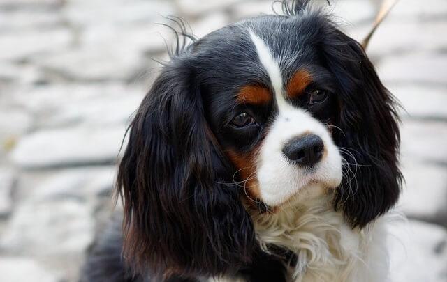 Pies rasy spaniel