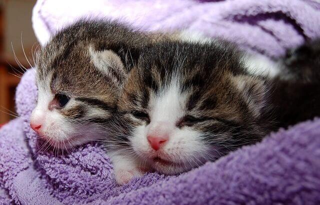 Kocięta owinięte w kocyk