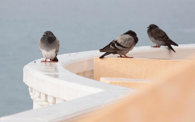 Gołębie siedzące na balustradzie