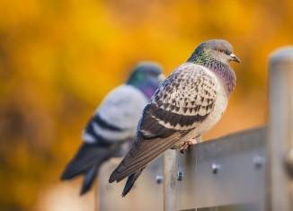 Gołębie siedzące na barierce