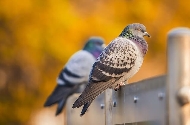 Jak pozbyć się gołębi z balkonu? Sposoby na gołębie!